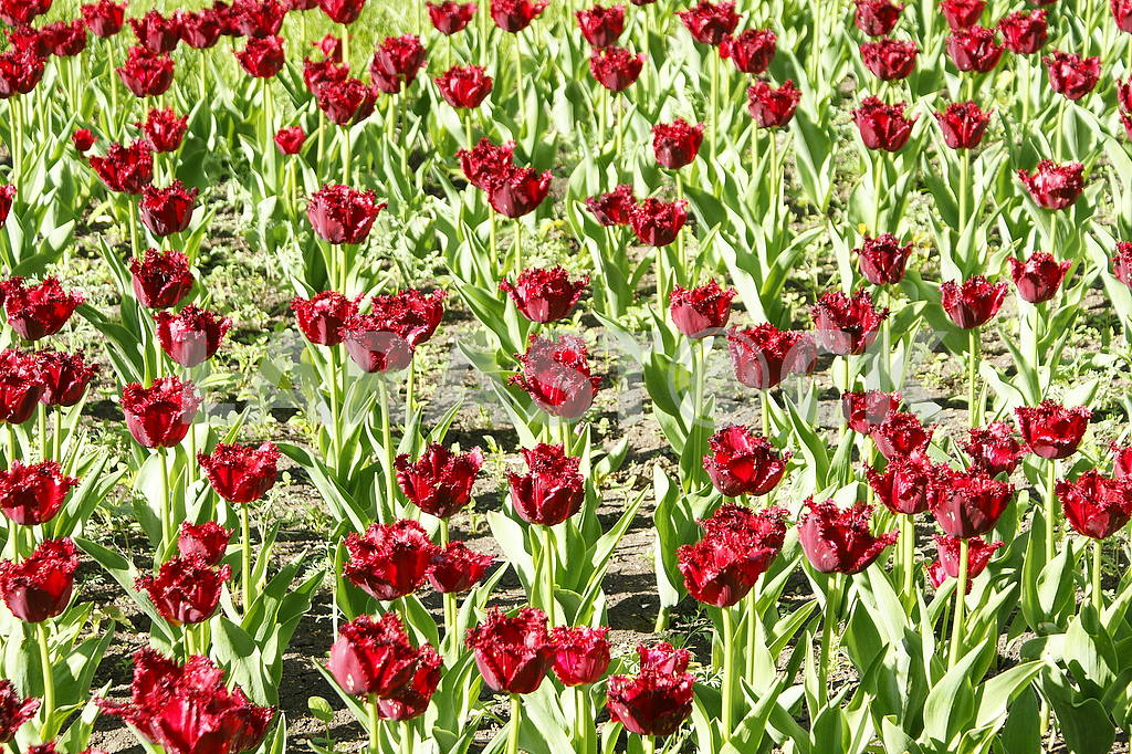 Many red tulips on the flowerbed — Image 51785