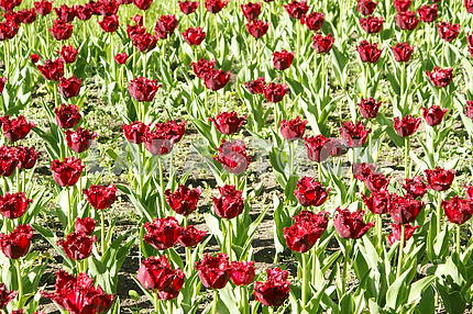 Many red tulips on the flowerbed
