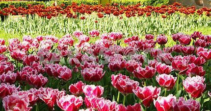 Tulips, tulips series, spring