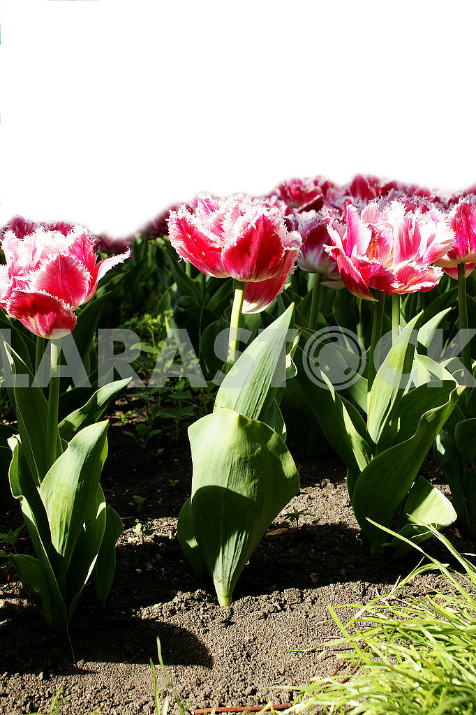 Tulips on the flowerbed, with space for text, vertical shot — Image 51788