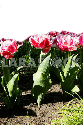 Tulips on the flowerbed, with space for text, vertical shot