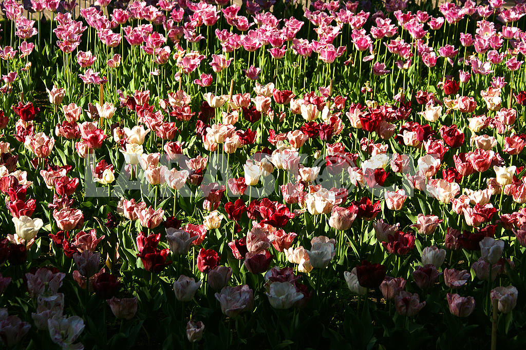 Multi-colored tulips on the flowerbed — Image 51789