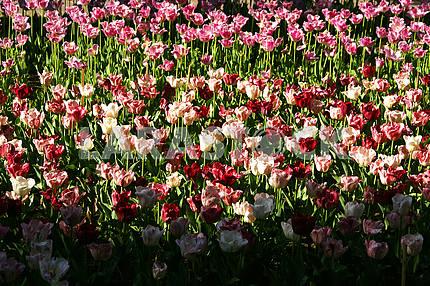 Разноцветные тюльпаны, на клумбе