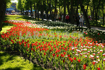 A flower bed of tulips in the park