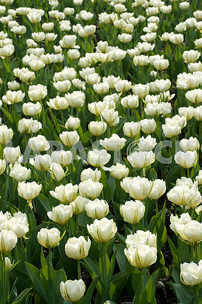 A flower bed of tulips, a lot of white tulips in the park
