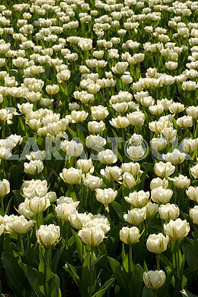 A flower bed of tulips, a lot of white beautiful tulips in the park