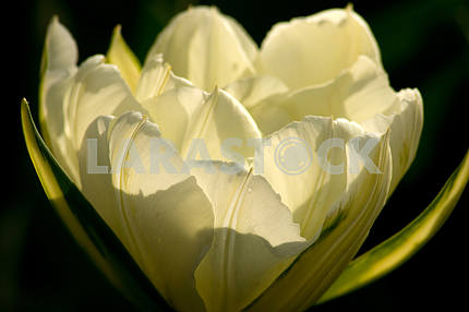 White tulip, shot close-up on a dark background