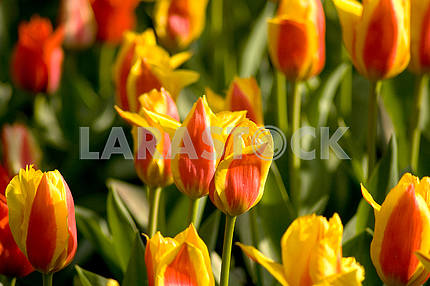 Yellow - red tulips on the flowerbed, shot from above, in the park