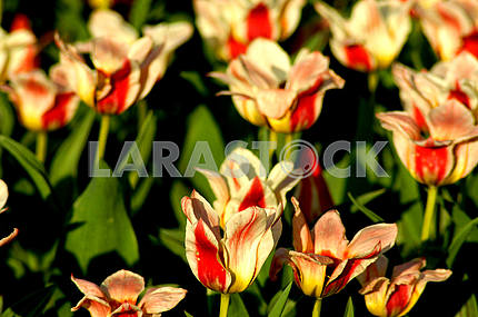Beautiful colorful tulips on the flowerbed