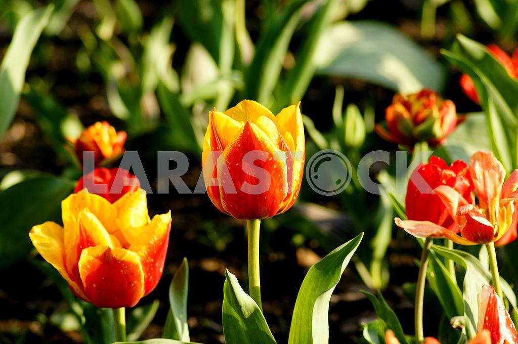 Разноцветные тюльпаны на клумбе — Изображение 51813
