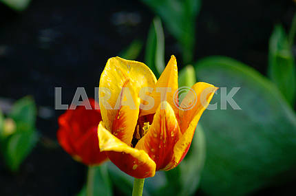 Beautiful tulip close-up on the flowerbed, top view