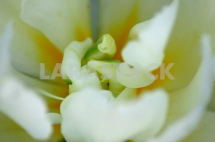 Белый тюльпан, внутри тюльпана ,макросъемка, вид сверху