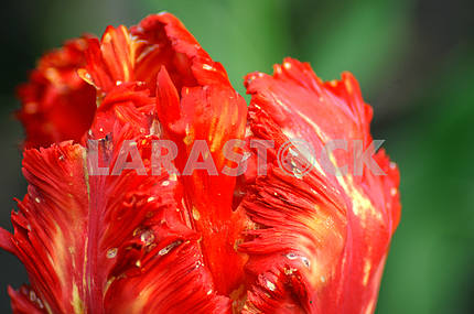 Red tulip, close-up, top view