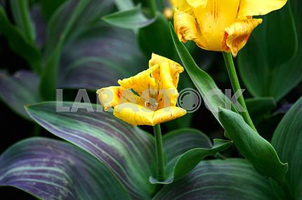 Yellow tulips in arboretum