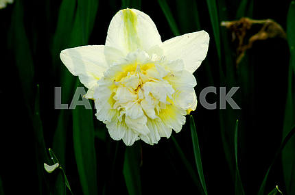 Narcissus white, close-up