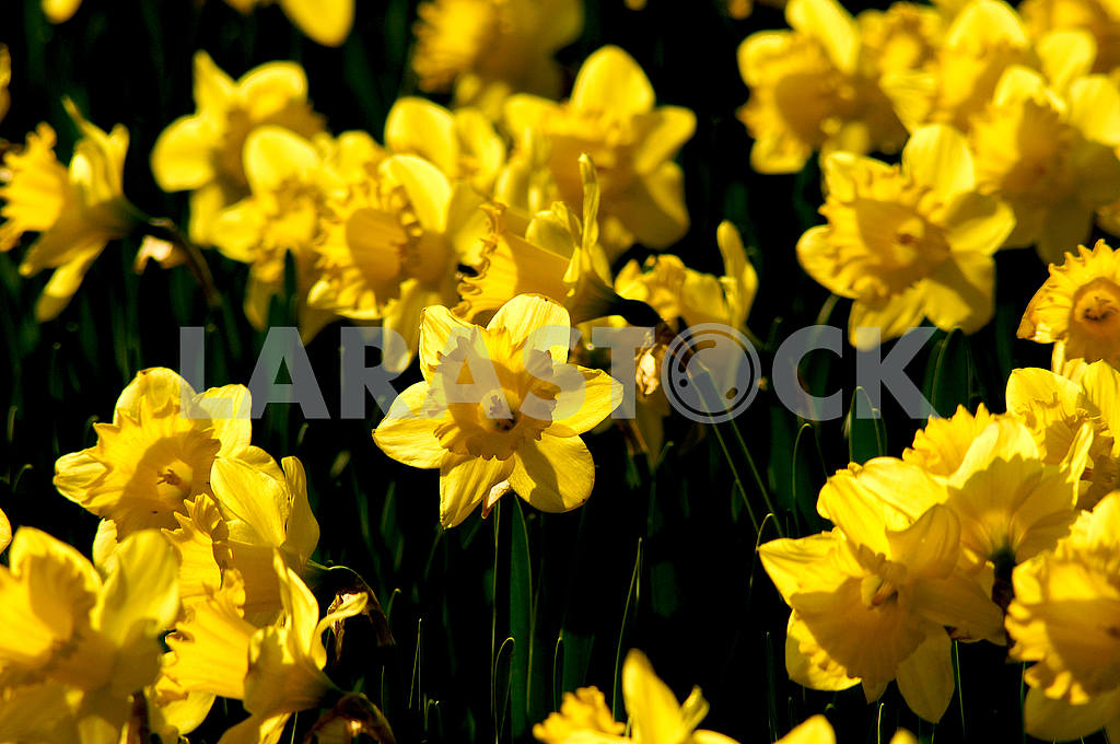 Flowerbed, yellow Narcissus — Image 51849