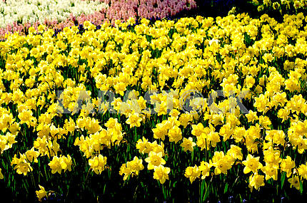 A flower bed, lots of yellow narcissus