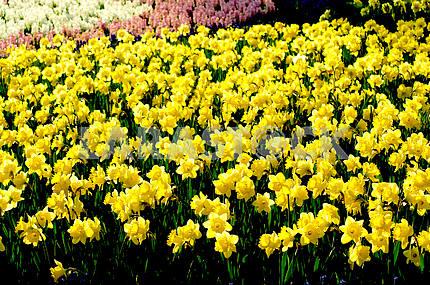 Клумба, много, Нарцисс желтый