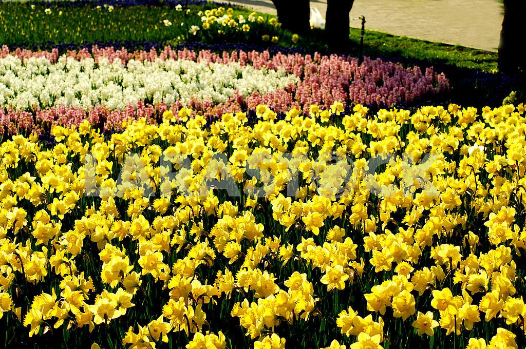 Клумба гиацинтов, цветы, весна, дендропарк — Изображение 51851