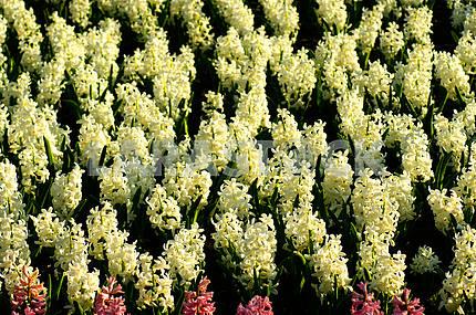 Hyacinth flower bed, flowers, spring, arboretum