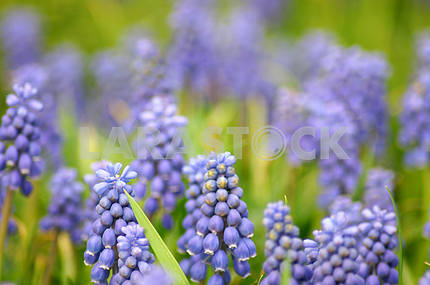 Muscari Flowers, Spring