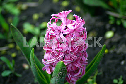 Hyacinth flower bed, flowers, spring, arboretum