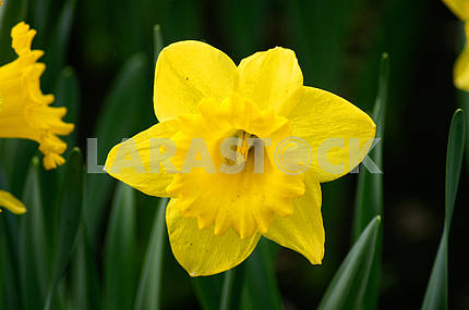 Narcissus Flowers, Spring
