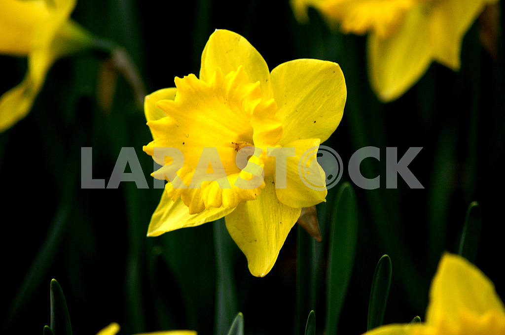 Narcissus Flowers yellow, spring — Image 51878