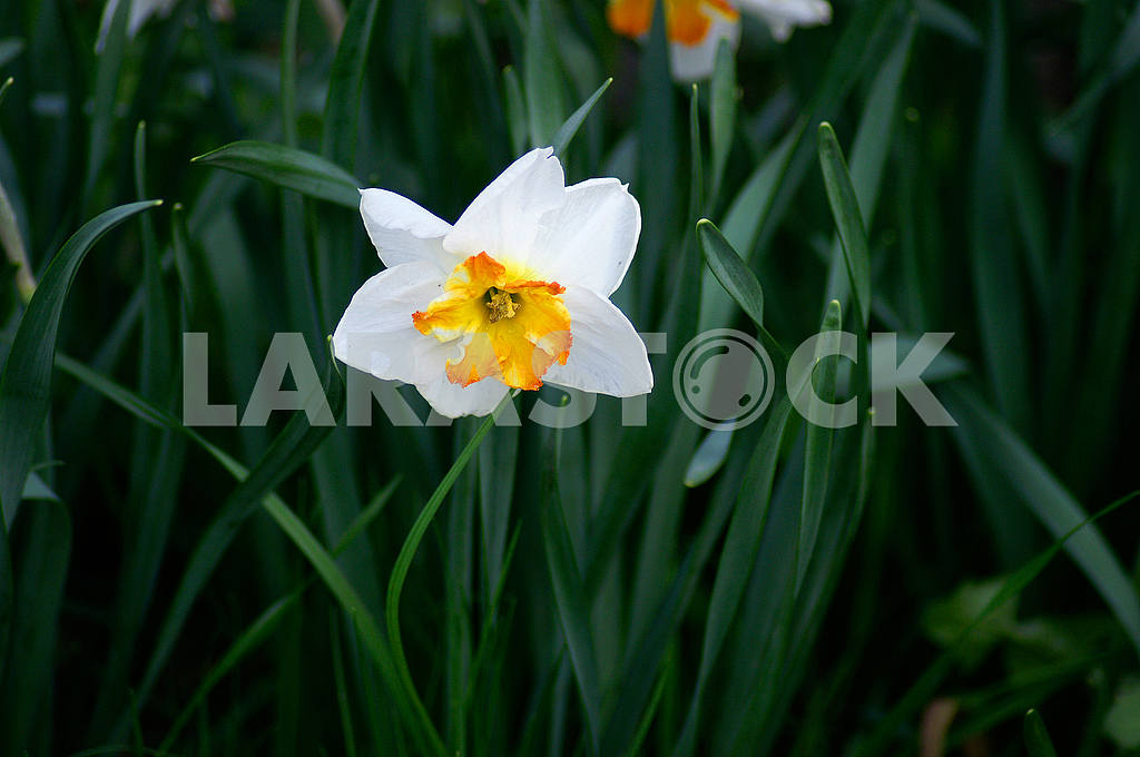 White Narcissus Flowers, Spring — Image 51879