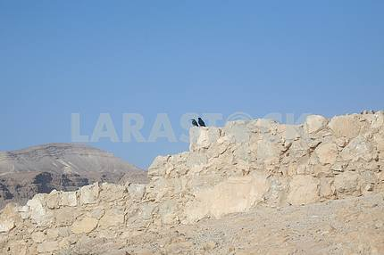 Bird in the Masada fortress, Israel