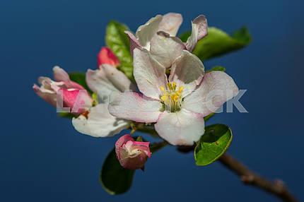 Apple tree home