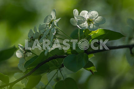 The branch of a flowering pear