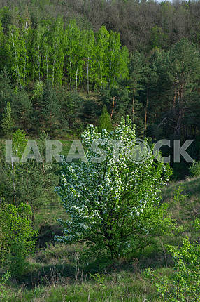 Blossoming wild plum in the forest