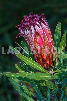 Protea Nerifola
