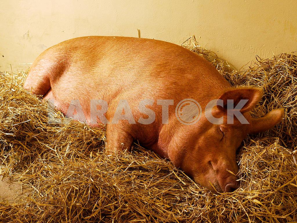 Sleeping Pig — Image 52544
