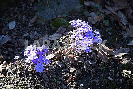 Springtime in Zagreb Botanical Garden,Croatia,hepatica nobilis,4
