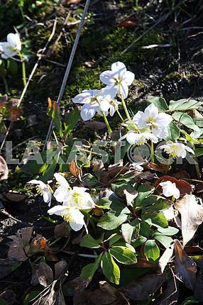 Весна в ботаническом саду Загреба, Хорватия, helleborus niger, 5
