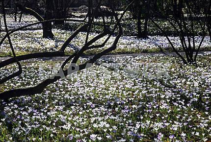 Springtime in Zagreb Botanical Garden,Croatia,crocus,7