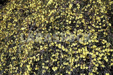 Springtime in Zagreb Botanical Garden,jasminum nudiflorum,15