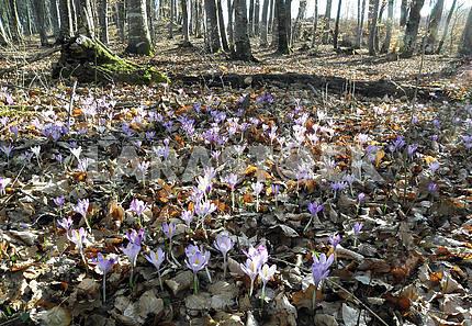 Весна наступает, ранние посланники, Хорватия, 1