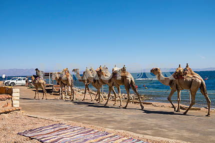 Caravan of camels on the waterfront