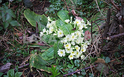 Springtime is coming,early messengers,primrose,6
