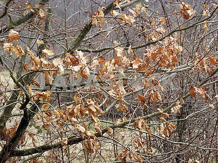 Весна наступает, листья последнего года, дуб, Хорватия, 12