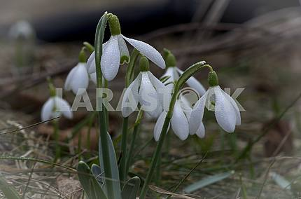 A group of snowdrops with raindrops on a blurred background.