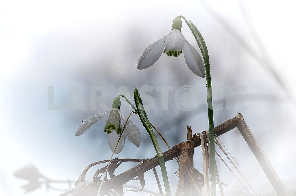 Two snowdrops with rain drops against the background of a blurry blue sky. — Image 52806