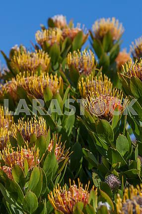 Proteus plant