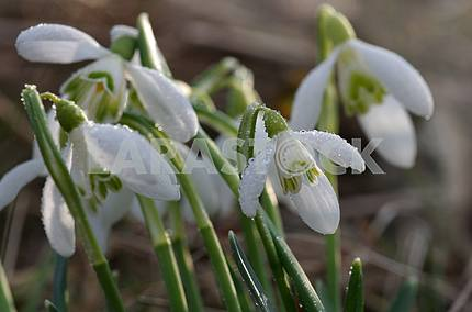 Snowdrops close-up, diagonally, on a blurred background. On the flowers, large clear drops from the rain.