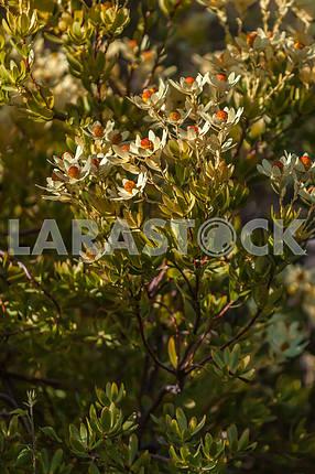 Flower of Poissentia