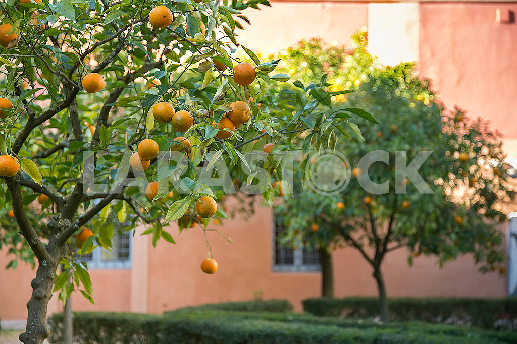 Two tangerines on tree — Image 53214