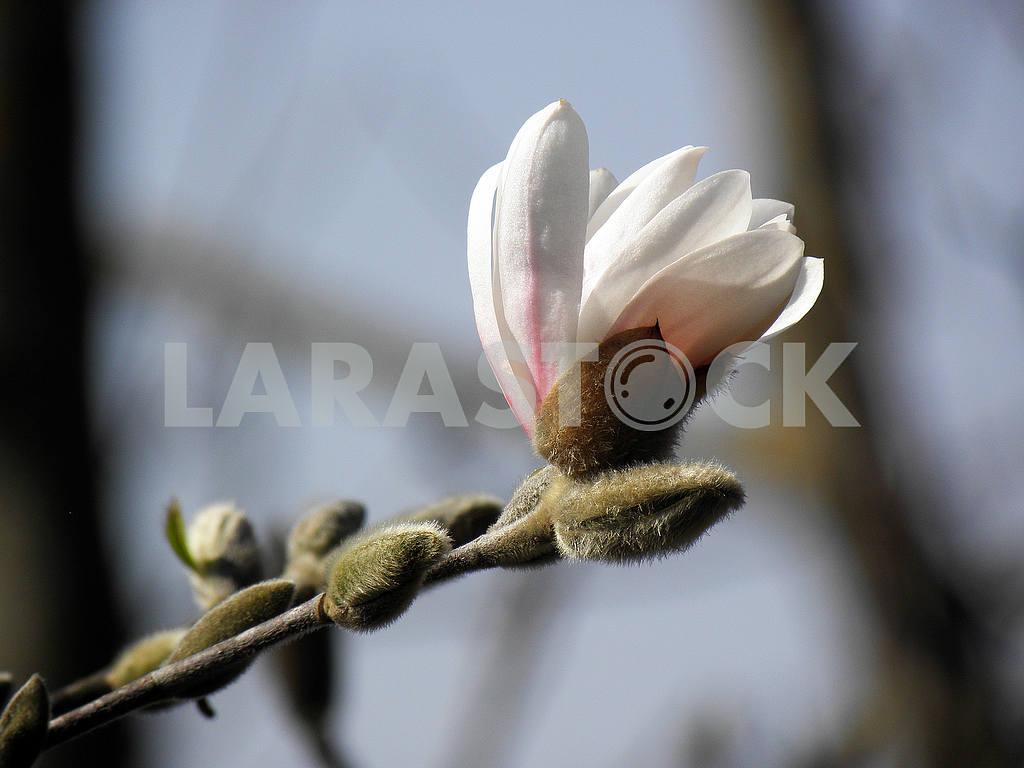 Springtime's awaking in the countryside,magnolia,Croatia,1 — Image 53229